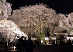 清雲寺のしだれ桜ライトアップ