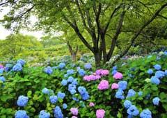 美の山公園 アジサイ園