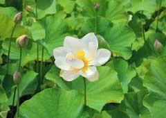 荒川日野の花ハス園