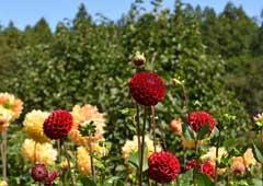 両神山麓花の郷 ダリア園