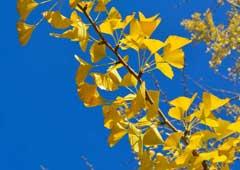 ミューズパーク イチョウ並木