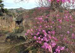 瑞岩寺の岩つつじ