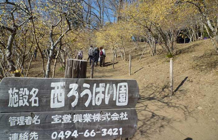 長瀞・宝登山頂 ロウバイ園