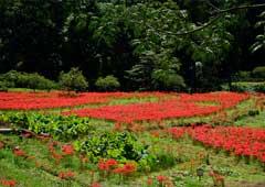 ふるさとの四季 望郷の里の彼岸花
