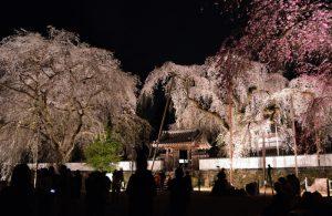 清雲寺のさくら(ライトアップ時)